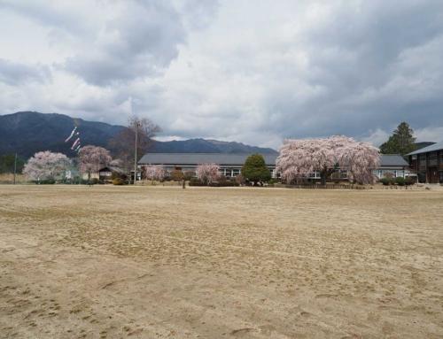 杵原学校(旧山本中学校)一本桜